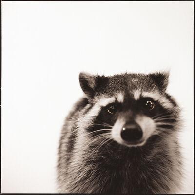 Nine Francois, 'Raccoon I'
