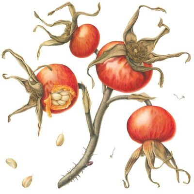 Julia Trickey, 'Nature in Waiting - Rosa Rugosa Hips', 2019