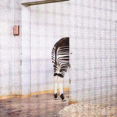 Itamar Freed, 'Zebra', 2014