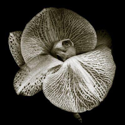Bob Francis, 'Phalaenopsis #2'