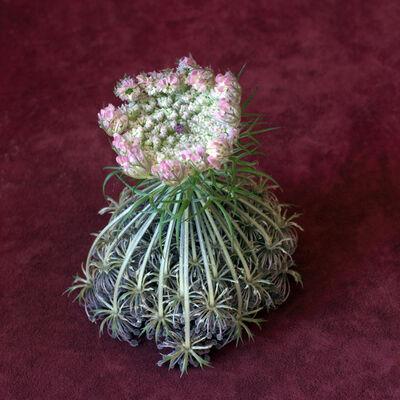 Helen Sear, 'Wild Flower Arrangement No. 2 (Daucus Carota)', 2015