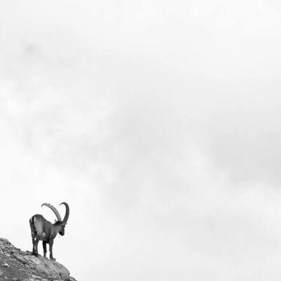 Peter Mathis, 'Capra Ibex Nr. 5, Switzerland', 2018