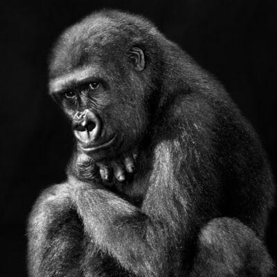 Isabel Muñoz, 'Serie Primates, 2/25', 2013