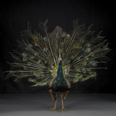 Li Wei, 'Hero - Peacock No. 9', 2011