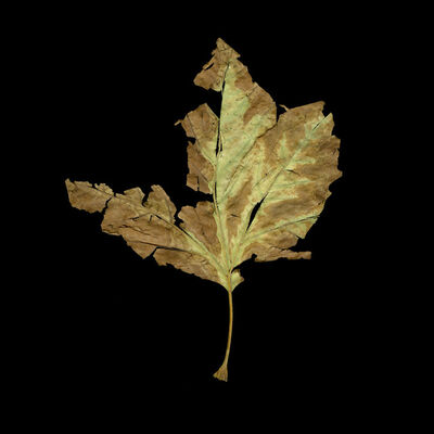 Meridel Rubenstein, 'Albuquerque Leaf, New Mexico', 2011