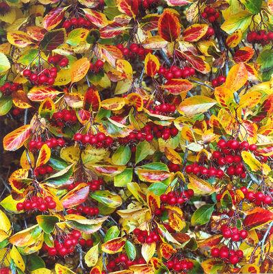 Christopher Burkett, 'Crimson Hawthorn Berries, Oregon', n.d.