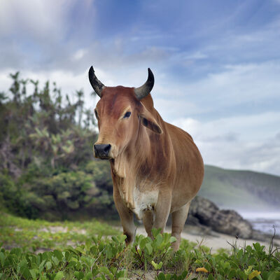 Daniel Naudé, 'Young Xhosa bull. Hluleka, Eastern Cape, South Africa', 2019