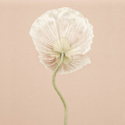 Paul Coghlin, 'Icelandic Poppy III', 2014