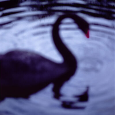 John Huggins, 'Black Swan, Centennial Park, Sydney, Australia, ed. of 23', 2004