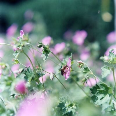 Rinko Kawauchi, 'Untitled 004, from the series Deauville [flowers]', 2014
