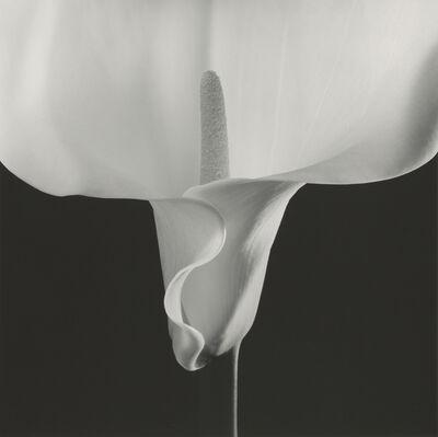 Robert Mapplethorpe, 'Calla Lily', 1988