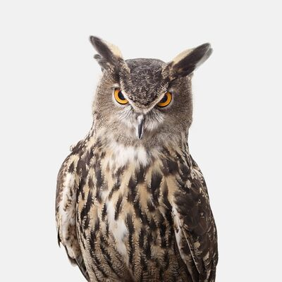 Randal Ford, 'Great Horned Owl', 2018