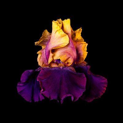 Rob Munday, 'Naturalium 5 – Bearded Iris', ca. 2019