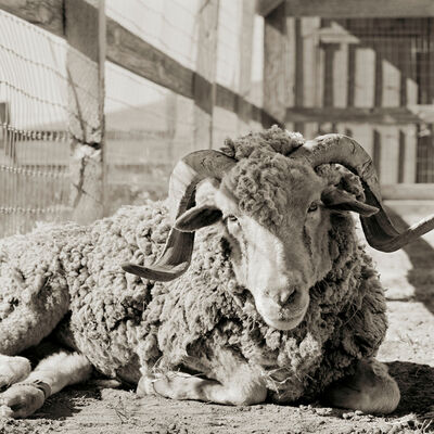 Isa Leshko, 'Bogart, Santa Cruz Sheep, Age 16', 2013