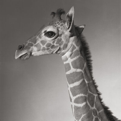 "Michael O'Neill, 'Reticulated Giraffe, ""Cinco""', 1991"