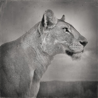 David Burdeny, 'Lioness Profile, Serengeti, Tanzania', 2020