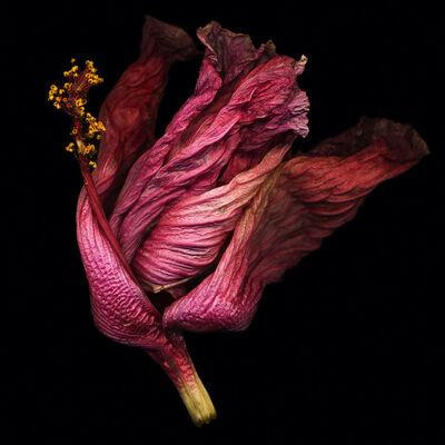 Bob Francis, 'Hibiscus #1'
