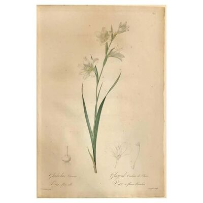 Pierre Joseph Redouté, 'Gladiolus Carnelus Hand Painted Colored Engraving Signed P.J. Redoute', 1800