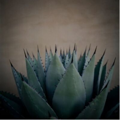 Allison V. Smith, 'Cactus. October 2011. Marfa, Texas', 2013