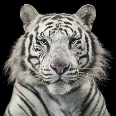 Tim Flach, 'Royal White Tiger'