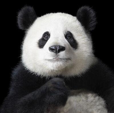 Tim Flach, 'Panda  Ya-Yun Elegant', 2012