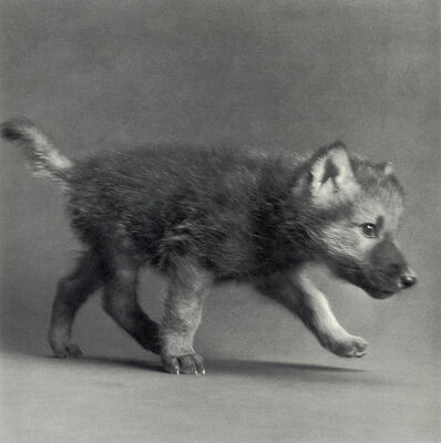 "Michael O'Neill, 'Timber Wolf, ""Coda""', 1991"