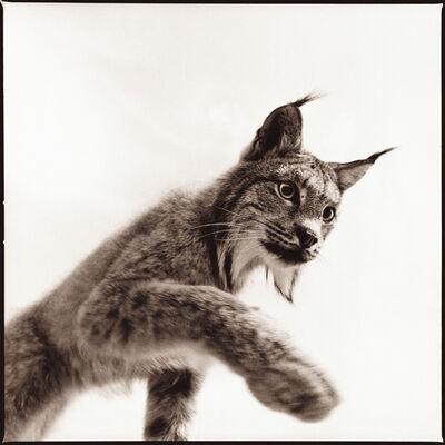 Nine Francois, 'Lynx I'