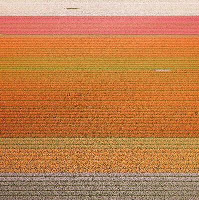 David Burdeny, 'Tulips (Veld) 03, Noordoostpolder, Netherlands', 2016