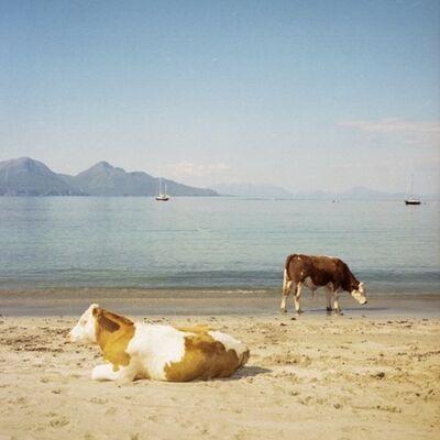 Muir Vidler, 'Cows, Beach, Isle of Muck', 2014