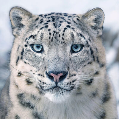 Tim Flach, 'Snow Leopard', 2017