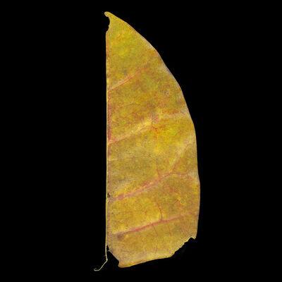 Meridel Rubenstein, 'Palau Ubin Half Leaf', 2010-2011