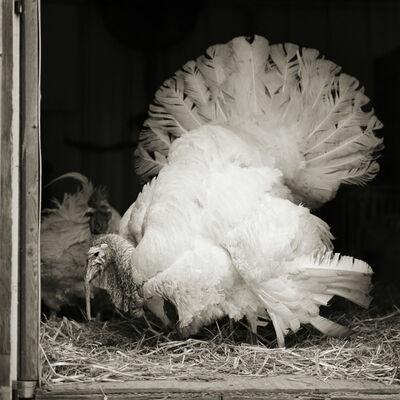 Isa Leshko, 'Tom, Broad Breasted White Turkey, I', 2017