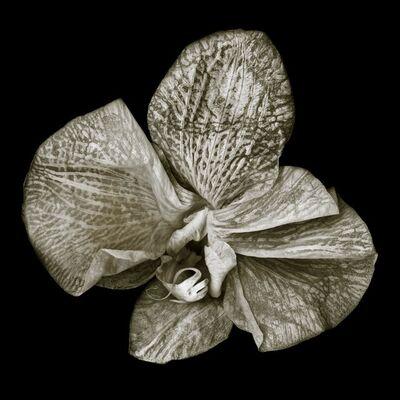 Douglas Stockdale, 'Phalaenopsis #3'