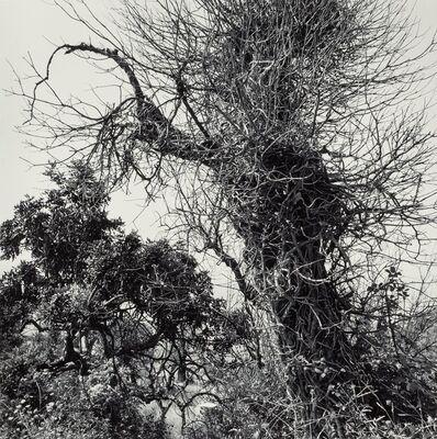 Elena Sheehan, 'Untitled (Twisted Trees)', 1981