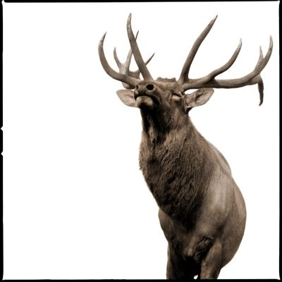 Nine Francois, 'Elk II', 2017
