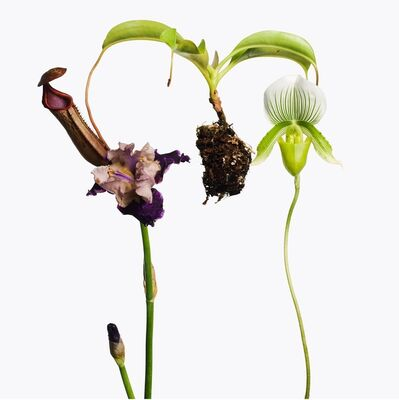 Inez & Vinoodh, '1 Pitcher Plant, 1 Purple Iris, 1 Lady Slipper Orchid', 2013