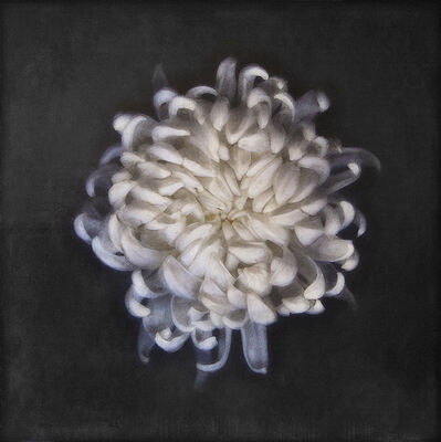 Maggie Hasbrouck, 'White Chrysantheum', 2017