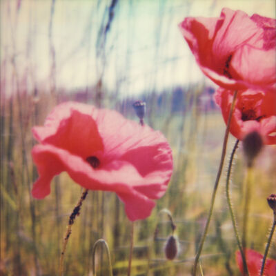 Carmen de Vos, '01 | Poppy Realm', 2018