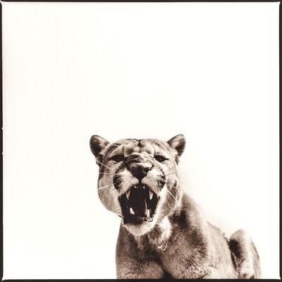Nine Francois, 'Cougar '