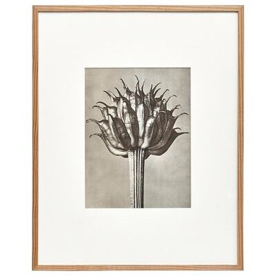 Karl Blossfeldt, 'Karl Blossfeldt Black White Flower Photogravure Botanic Photography, 1942', 1942