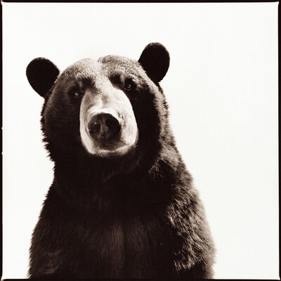 Nine Francois, 'Black Bear I'