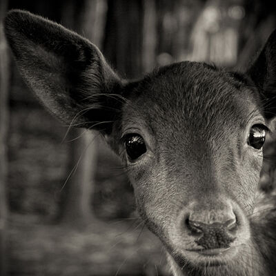 Paul Coghlin, 'Inquisitive Fawn', 2004