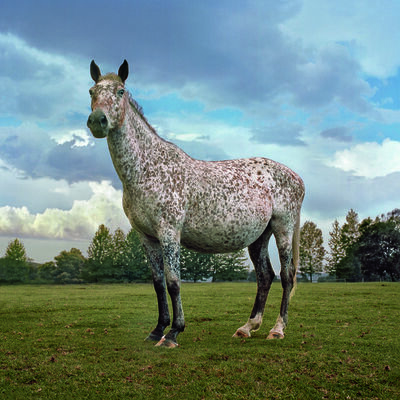 Daniel Naudé, 'Appaloosa horse in foal, Curry's Post, KwaZulu-Natal, from Animal Farm', 2009