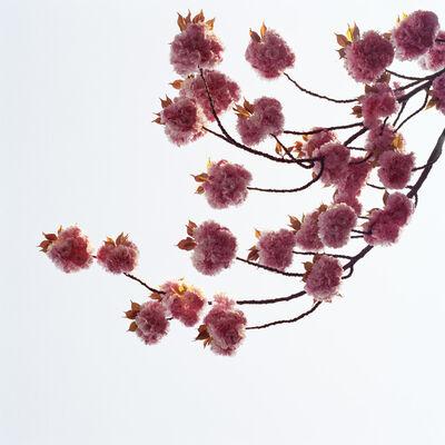 Sally Gall, 'Blossom #3', 2005