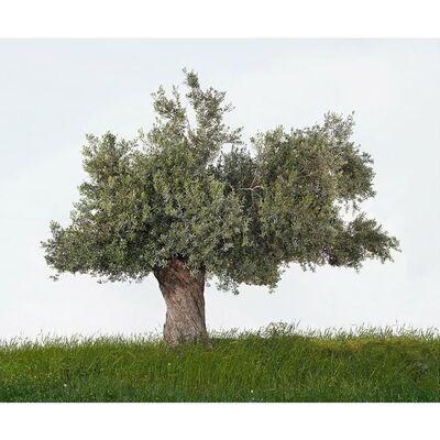 Tal Shochat, 'Olive Tree', 2013