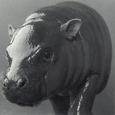 "Michael O'Neill, 'Pygmy Hippopotomas, ""Chubby""', 1991"