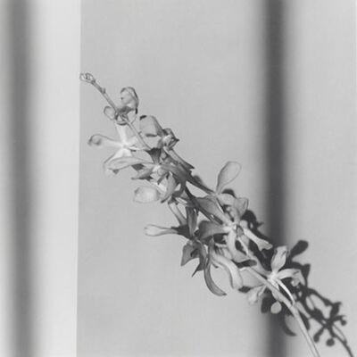 Robert Mapplethorpe, 'Orchid ', 1980-printed in 2012
