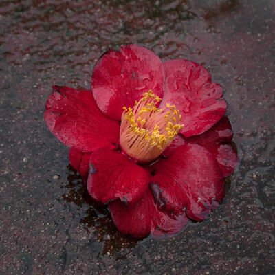 Hiroshi Watanabe, 'The Day The Dam Collapses  #15 (RedCamellia)', 2011