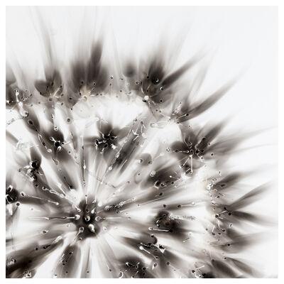 Etsuko Ichikawa, 'Aquagraph 1515, Dandelion Seed Head', 2015