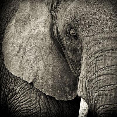 Paul Coghlin, 'Portrait of an Elephant', 2009